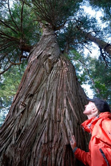 A cedar, mother-tree in old-growth forest in Haida Gwaii