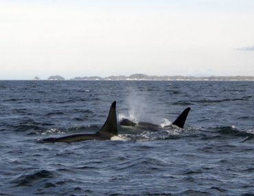 Transient (Biggs) killer whales on the hunt