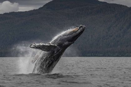 Breaching Humpback SEA; Paul Goldstein photo