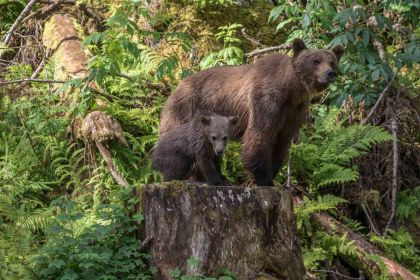 Mum and cub grizzly Anan Creek: Paul Goldstein