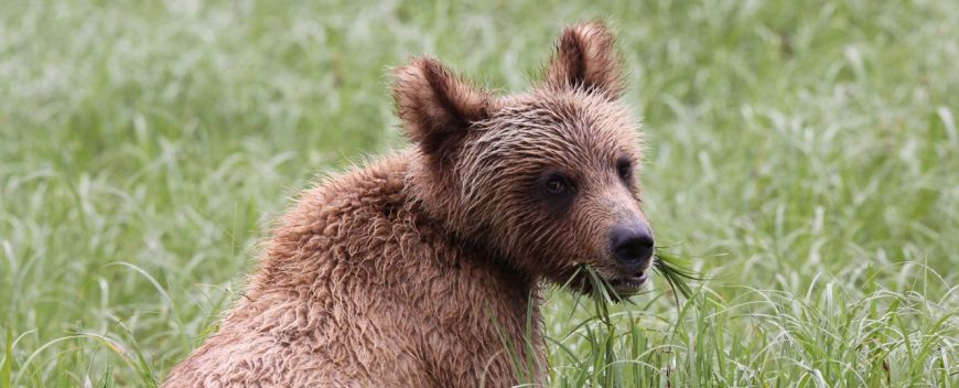 Grizzly Cub grazing on sedge in the Khutzeymateen