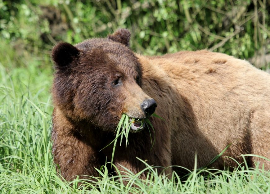 A grizzly bear grazing on sedge grass