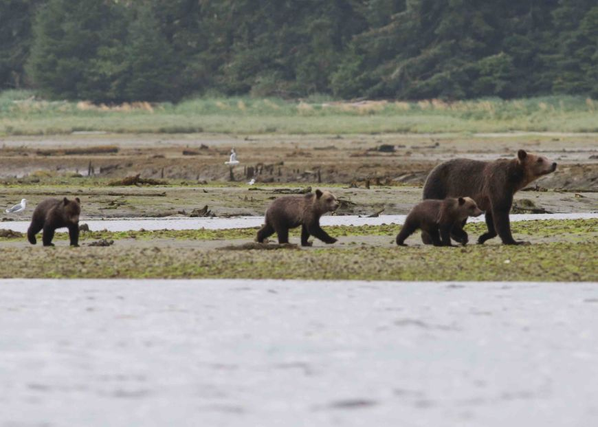 Grizzly bear mum and her 3 cubs of the year. Photo: D Boyle