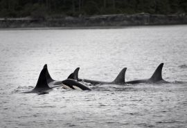 Watch video of orcas - Khutzeymateen 2011