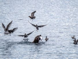Steller's sea lioon feasting on salmon surrounded by gulls in the air