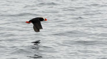 Tufted Puffin - Bruce whittington
