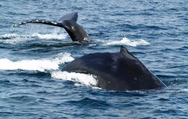 Whale watching in Hecate Strait, Queen Charlotte Islands/Haida Gwaii