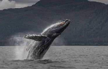 Humpback Whale breaches in the Great Bear Rainforest