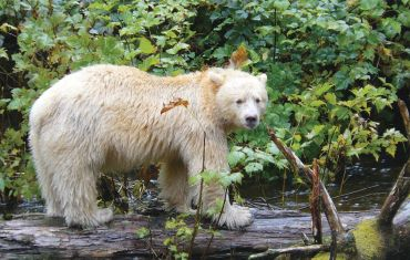 Kermode or Spirit Bear in the Great Bear Rainforest