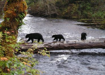 GBR - Black bears