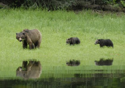 Grizzly sow with 2 cubs of the year Khutzeymateen