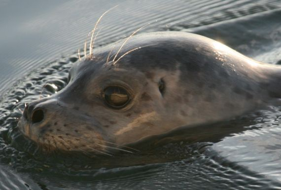 Harbour Seal - Bluewater Adventures