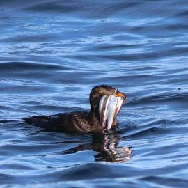 Rhinoceros Auklet with a beak full of fish