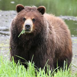 Sub adult Grizzly in Alaska